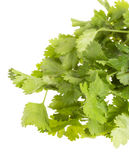 Fresh coriander Royalty Free Stock Photo