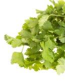 Fresh coriander Royalty Free Stock Photo