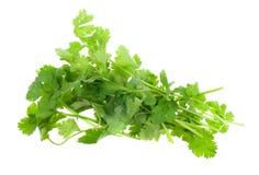 Fresh coriander Royalty Free Stock Images