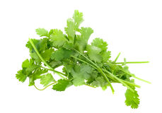Fresh Coriander Stock Image