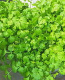 Fresh coriander, aromatic herbs Royalty Free Stock Image