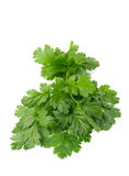 Fresh Coriander bunch Stock Images