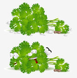 Fresh coriander character Royalty Free Stock Photo