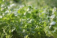 Fresh coriander or cilantro leaf. Stock Photos