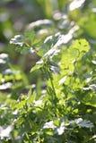 Fresh coriander or cilantro leaf. Royalty Free Stock Image