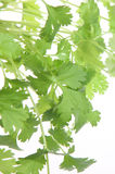 Fresh Coriander or Cilantro Leaves Royalty Free Stock Photography