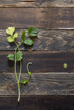Fresh coriander or cilantro on wooden background Royalty Free Stock Photography
