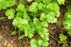 Fresh coriander in the garden Stock Photography