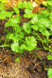 Fresh coriander in the garden Stock Images