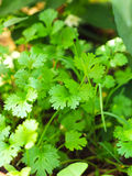Fresh coriander in the garden Stock Image