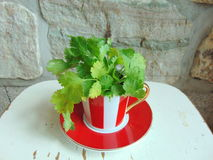 Fresh coriander herbs in a lovely red and white striped cup. Fresh coriander herbs in a lovely red and white striped cappuccino cup stock image