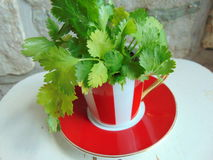 Fresh coriander herbs in a lovely red and white striped cup. Fresh coriander herbs in a lovely red and white striped cappuccino cup Royalty Free Stock Photography