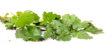 Fresh coriander leaves Royalty Free Stock Image