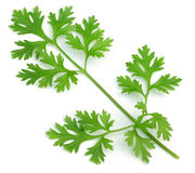 Fresh coriander leaves Royalty Free Stock Photography