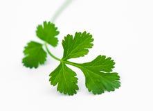 Fresh coriander leaves Stock Photography