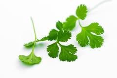 Fresh coriander leaves Stock Photos