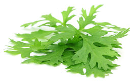 Fresh coriander leaves Royalty Free Stock Photos