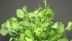 Fresh Coriander Leaves Rotating on Turntable