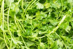 Fresh Coriander sativum. Is an annual herb in the family Apiaceae. All parts of the plant are edible, but the fresh leaves and the dried seeds are the parts Royalty Free Stock Photos