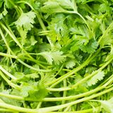 Fresh Coriander sativum. Frsh Coriander sativum - is an annual herb in the family Apiaceae. All parts of the plant are edible, but the fresh leaves and the dried Stock Photography