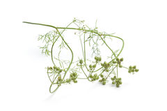 Fresh coriander seeds on a sprig Royalty Free Stock Photo