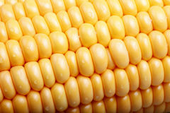 Fresh corn. Royalty Free Stock Images