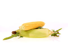 Fresh corn. Stock Photography