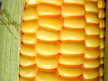 Fresh Corn. Raw corn on the cob detail Royalty Free Stock Image