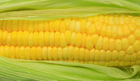 Fresh corn Stock Photography