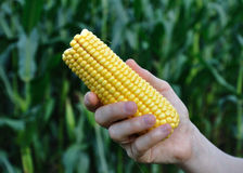 Fresh Corn. A womans hand displays an ear of freshly harvested corn Stock Photography