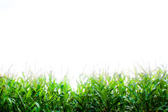 Fresh corn background Stock Photo