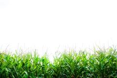 Fresh corn background Stock Photo