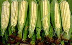 Fresh corn clips Royalty Free Stock Photos