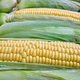 Fresh corn closeup, natural background Royalty Free Stock Photography