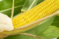 Fresh corn on the cob Royalty Free Stock Photos