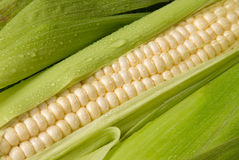 Fresh corn on the cob Royalty Free Stock Photography