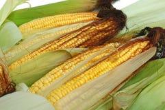 Fresh corn on the cob Royalty Free Stock Photo