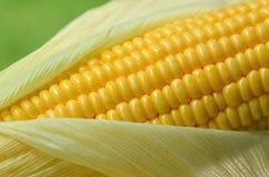 Fresh corn cob Stock Image