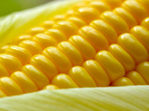Fresh corn cob Royalty Free Stock Image