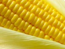 Fresh corn cob Stock Photography