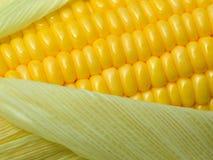 Fresh corn cob Royalty Free Stock Image