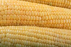 Fresh corn on the cob stock photos