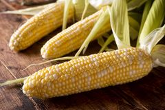 Fresh Corn on the Cob. Freshly picked corn on the cob on a rustic wooden harvest table royalty free stock image