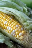 Fresh corn cob  half open Stock Image