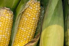 Fresh corn on the cob partly in the husk with silks stacked vertically with other completely husked corn. Fresh corn on the cob partly in the husk with silks Stock Photo