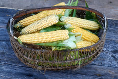 Fresh corn on the cob in a wicker basket on old wooden table Royalty Free Stock Image