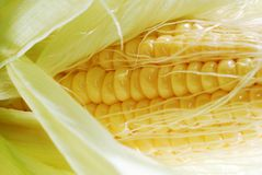 Fresh corn in cob3 Stock Image