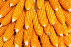 Fresh corn cobs Stock Images