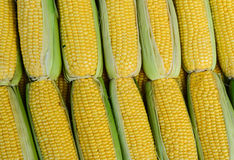 Fresh corn cobs being sold in fruit market Stock Image