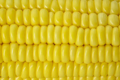 Fresh corn cobs. Close up view of fresh corn cobs Royalty Free Stock Photo